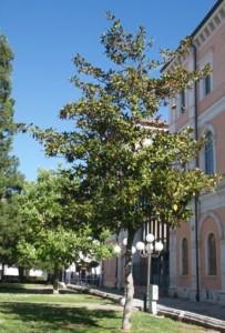 12_magnolia
